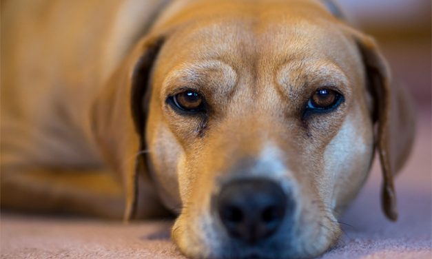 How CBD Oil Can Help Relieve Your Dog's Chronic Pain